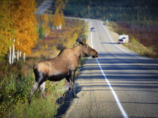 Moose Crossing A Country Road